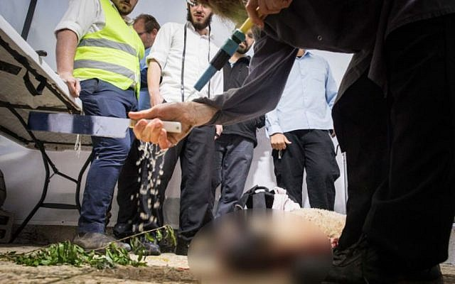 Jewish men slaughter a sheep for the Passover Sacrifice 'practice' ceremony at the Old City of Jerusalem, on April 15, 2019. (Noam Revkin Fenton/Flash90)