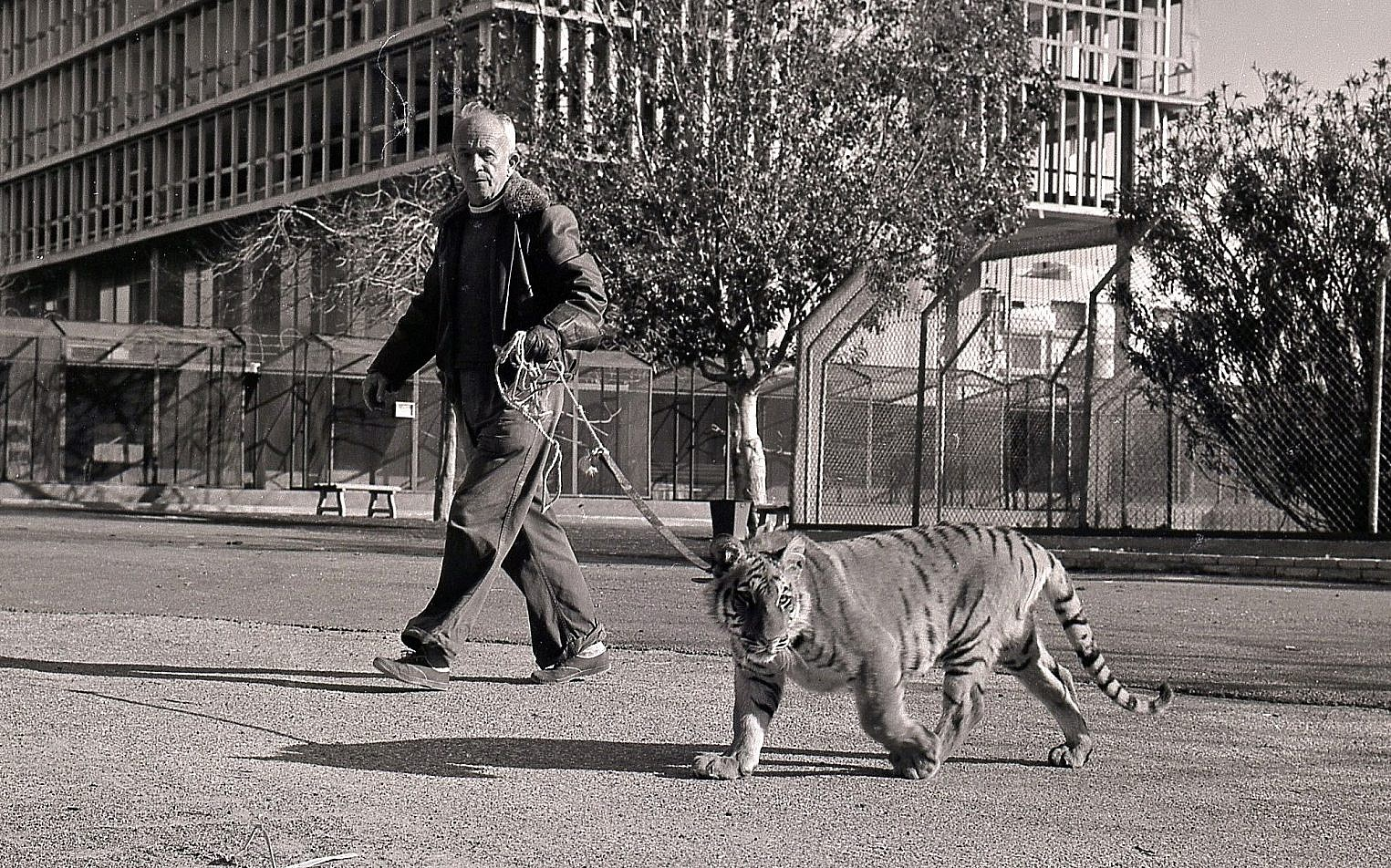 Head Tel Aviv zookeeper Johnny Zusia walking a tiger in the streets of Tel Aviv. (Courtesy Collection of Meitar Boris Carmi)