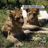 Lionesses rest in an enclosure on April 10, 2019, at the Al Ma'wa For Nature and Wildlife in Jerash, Jordan. (Khalil MAZRAAWI / AFP)