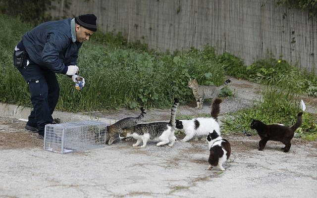 A Jerusalem municipal veterinary center employee attempts to lure stray cats into a cage with food so that they can be sterilized, March 7, 2019. (MENAHEM KAHANA/AFP)