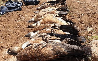 The carcasses of eight vultures found poisoned in the Golan Heights on May 10, 2019. (Nature and Parks Authority)