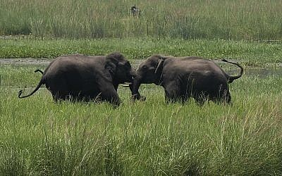 Two wild elephants, part of a herd that arrived at a wetland near the Thakurkuchi railway station, engage in a tussle on the outskirts of Gauhati, Assam, India, on June 7, 2017. (AP / Anupam Nath)
