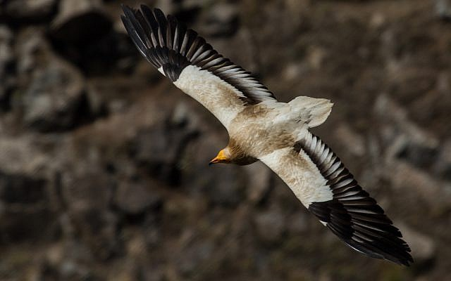An Egyptian vulture in flight over the Gamla nature reserve on the Israeli Golan, May 2013. (Wikipedia/Вых Пыхманн/CC BY-SA)