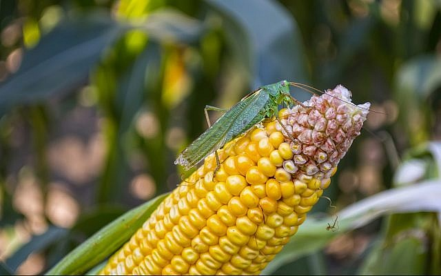Illustrative: Locust eating corn crops (Oleksandr Yuchynskyi, Getty Images)