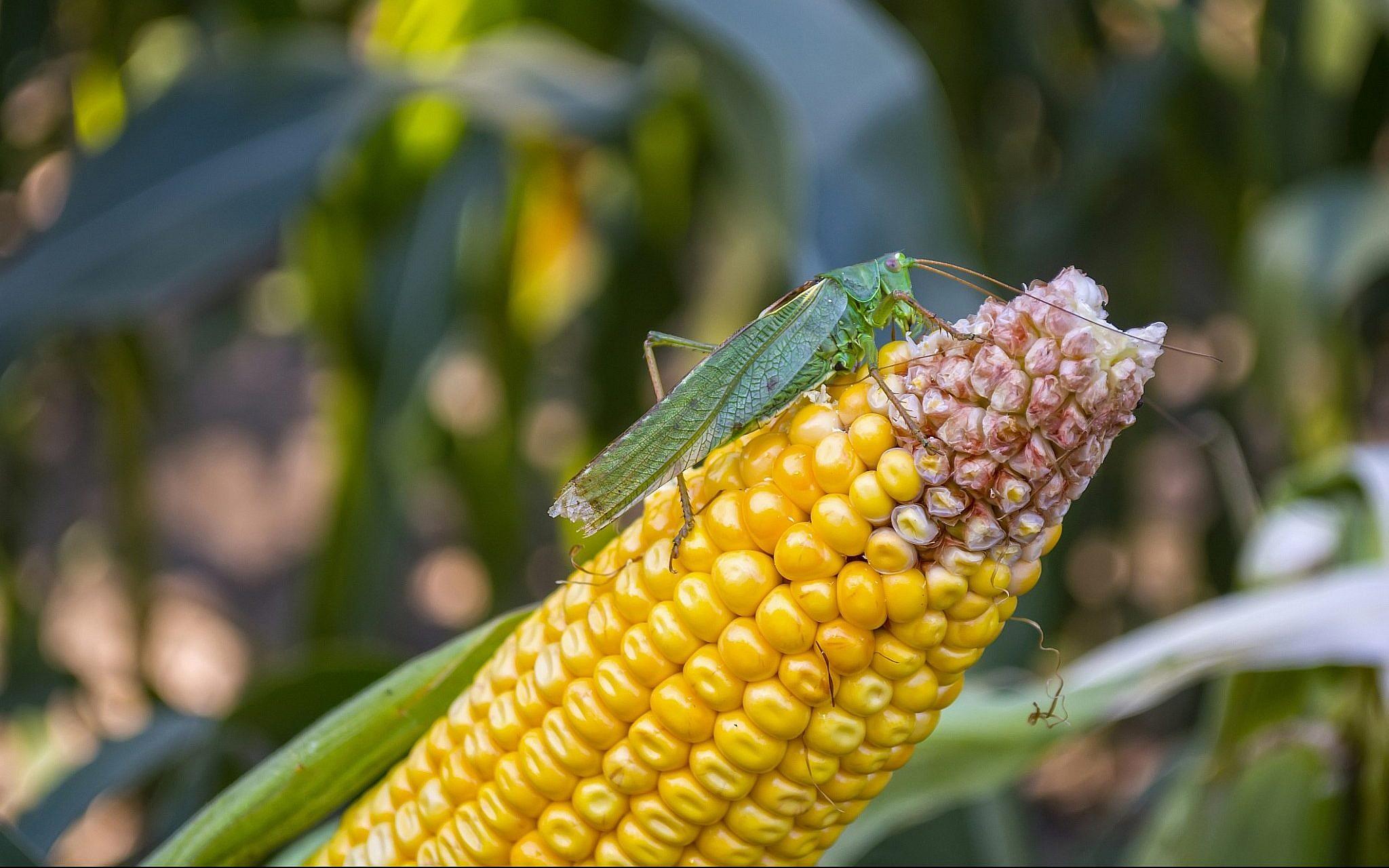 Locusts spotted infesting Israel's southeastern Arava area