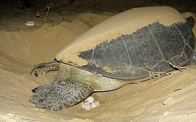 Illustrative - A sea turtle laying eggs on the beach. (Yaniv Levy, Israel National Parks Authority)