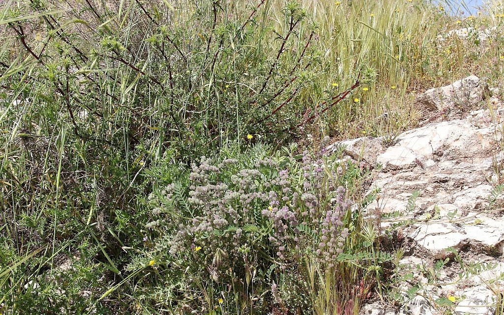 Jerusalem's Squill Hill in the spring, named for the white squill plants that bloom at the end of the summer. (Shmuel Bar-Am)