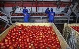 Palestinians sort tomatoes on a conveyor belt at a tomato paste plant in Jabalia in the northern Gaza Strip, on June 17, 2019. (MOHAMMED ABED/AFP)