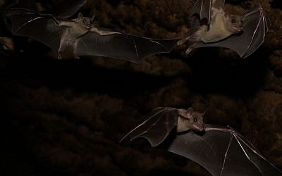 Researchers at Tel Aviv University have found that fruit bats are able to translate, to some extent, echo-acoustic information into 3D shapes (Courtesy)