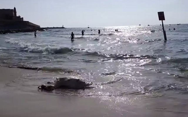 A cow carcass washes up to the shore of the Jaffa dog beach on June 9, 2019. (Screen capture/YouTube)