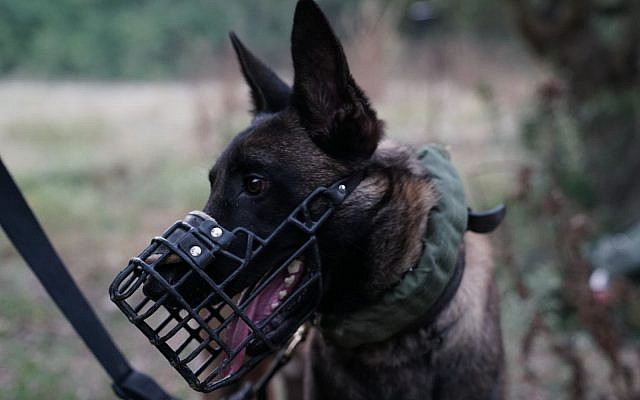 A military dog, part of the IDF's Oketz Unit, participates in a large-scale exercise simulating warfare against the Hezbollah terror group in Lebanon, in June 2019. (Israel Defense Forces)