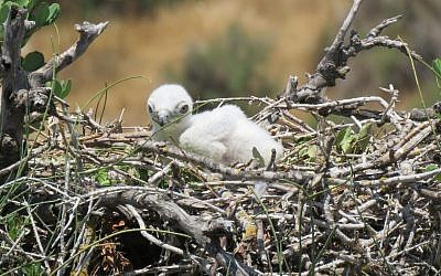 Illustrative photo of a snake eagle chick. (Liad Cohen, Nature and Parks Authority)