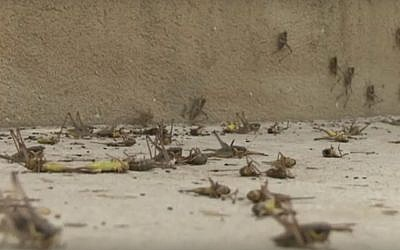 Swarms of grasshoppers in Moshav Alonei Habashan in the Golan Heights, northern Israel, June 4, 2019. (Kan screenshot)