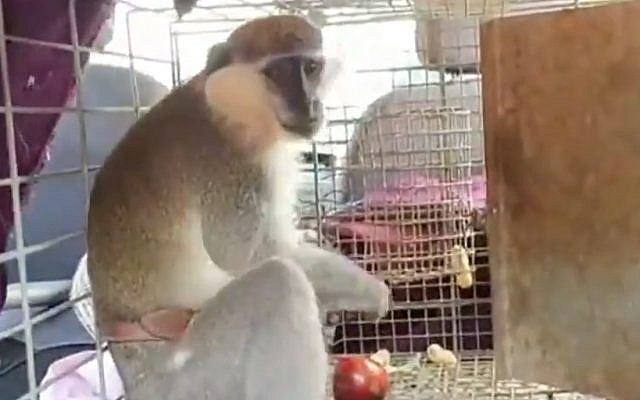 A vervet monkey that escaped from a farm in southern Lebanon, crossed the border into Israel and evaded capture for two weeks, was finally tempted into a cage with food, June 6, 2019. (YouTube screenshot)