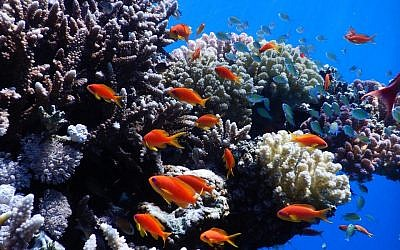 The Red Sea Transnational Research Center will study thousands of types of fish and coral found in the Red Sea, like these photographed near Eilat by Professor Maoz Fine in 2019. (courtesy Maoz Fine)