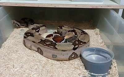 A snake confiscated by the Israel Nature and Parks Authority during a crackdown on the illegal trade in reptiles, June 17, 2019. (Israel Nature and Parks Authority)