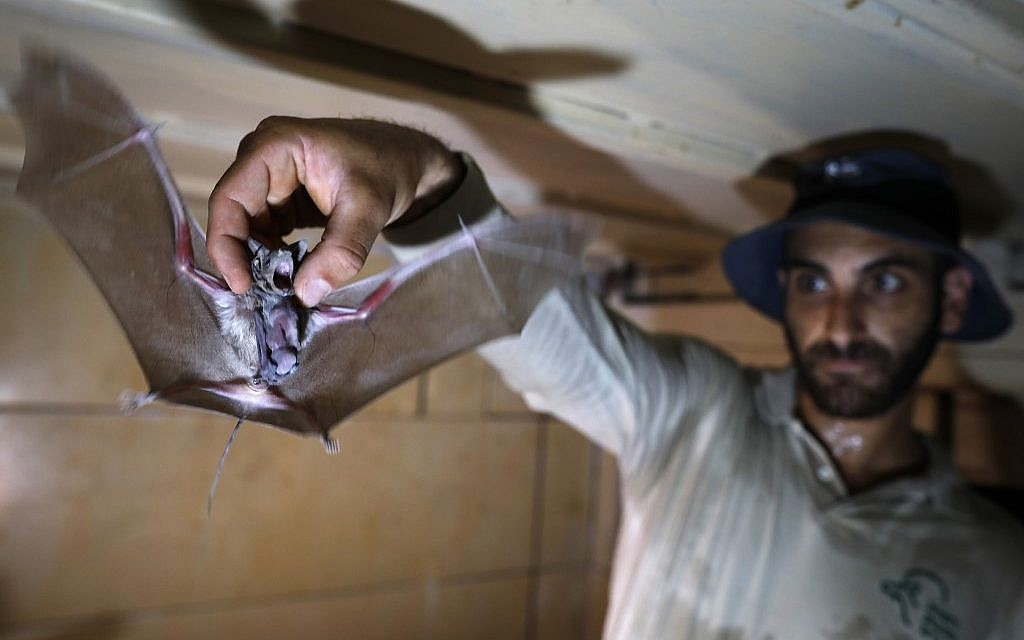 Oren Naftali, a ranger for the Israel Nature and Parks Authority in the West Bank holds a Lesser mouse-tailed bat, inside an abandoned Israeli army outpost next to the Jordan River on July 4, 2019. (Photo by MENAHEM KAHANA / AFP)