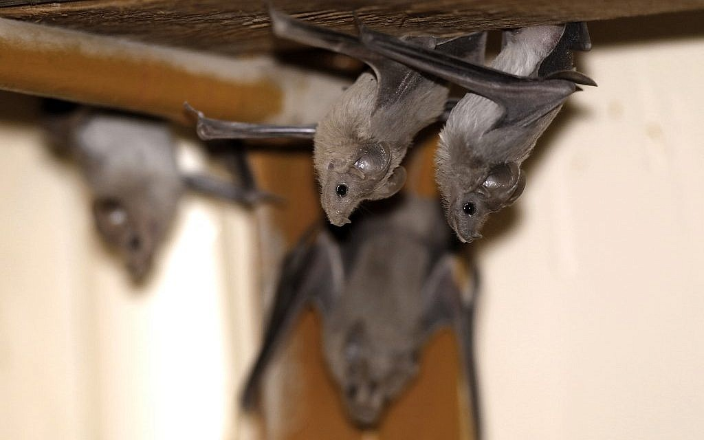 Lesser mouse-tailed bats are pictured inside an abandoned Israeli army outpost next to the Jordan River in the West Bank on July 7, 2019. (Photo by MENAHEM KAHANA / AFP)