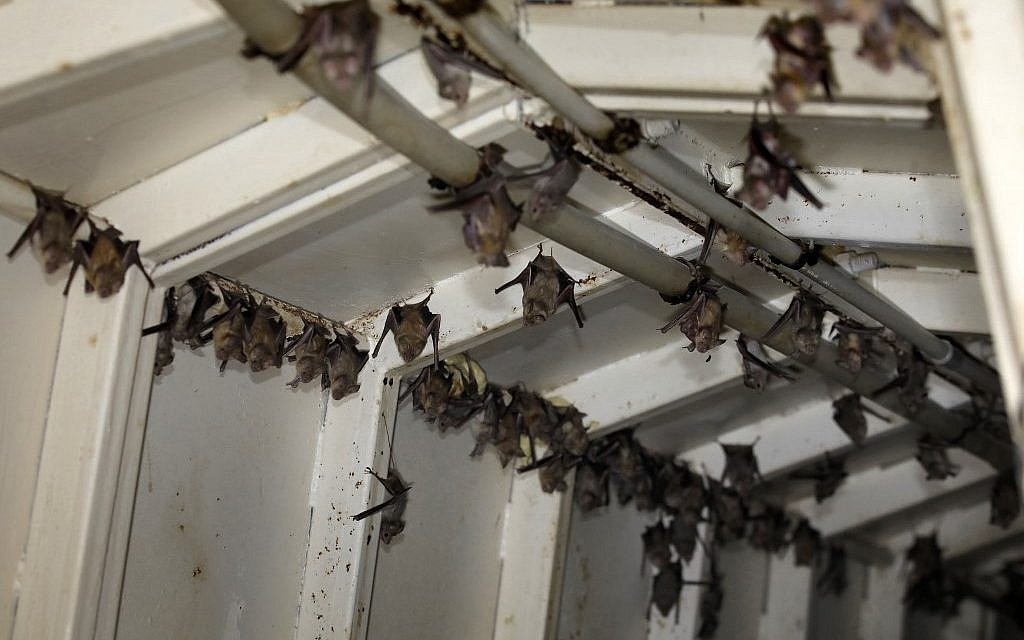 Horseshoe bats are pictured inside an abandoned Israeli army outpost next to the Jordan River in the West Bank, on July 7, 2019. (Photo by MENAHEM KAHANA / AFP)