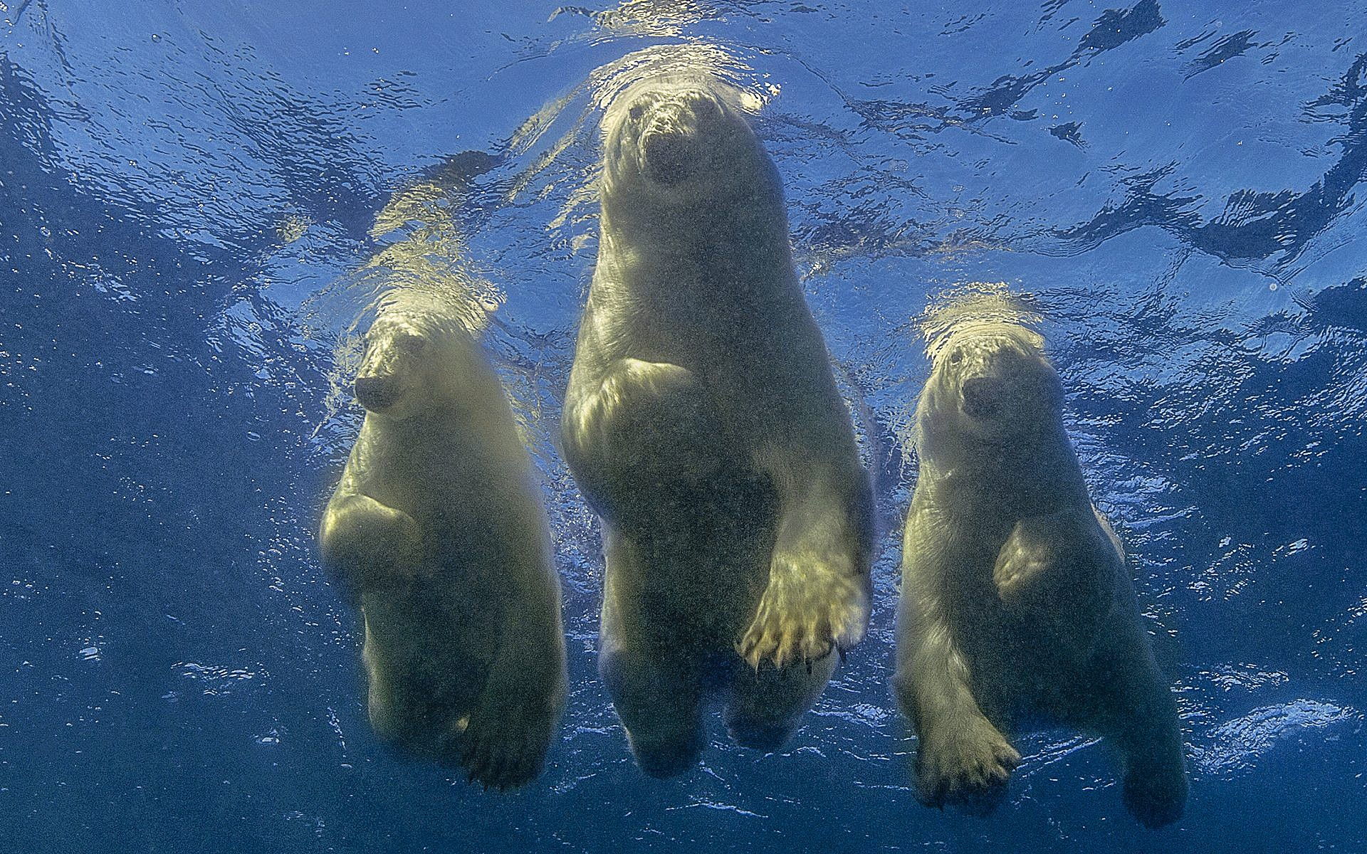A family of polar bears swimming overhead, by Amos Nachoum. (Courtesy)