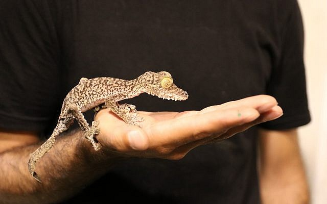 One of dozens of reptiles found in a Tel Aviv apartment as part of an international operation against illegal trade in animals, June 2019. (Israel Nature and Parks Authority)
