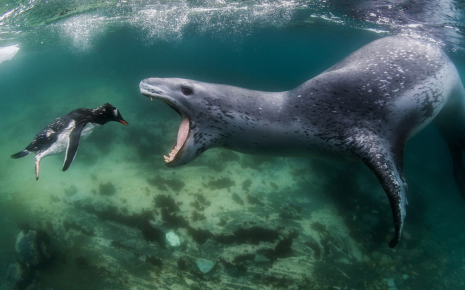 A penguin faces a leopard seal. (Amos Nachoum)