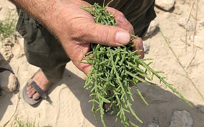 Stalks of ice plant, found and picked by forager Yatir Sade, which yield a salty, crunchy flavor and texture (Jessica Steinberg/Times of Israel)