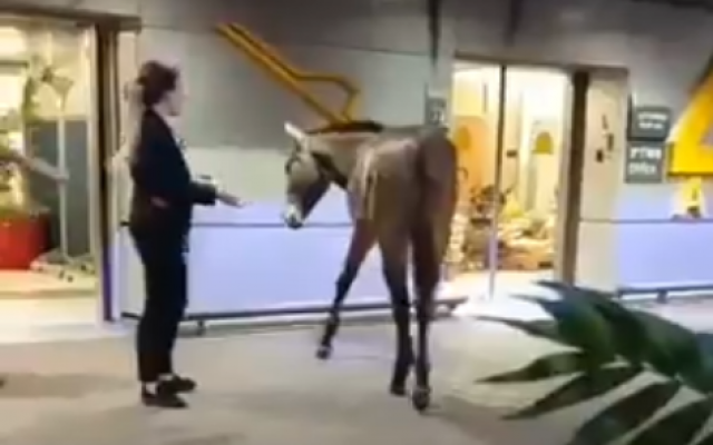 A mule walks into Ben Gurion Airport terminal | The Times of