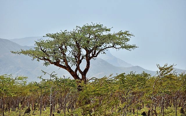 A Boswellia tree growing on Socotra island, Yemen, znm, IStock photos from Getty Images