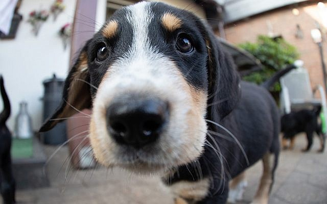 A puppy dog looks into the camera in Germany, July 12, 2019. (Friso Gentsch/picture alliance via Getty Images via JTA)