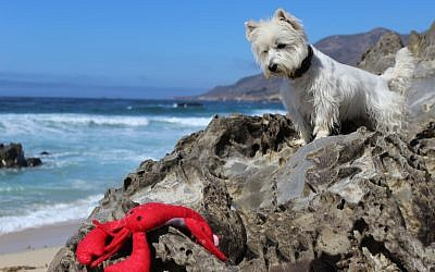 White West Highland Terrier looking down at toy lobster on the rocks near the ocean. (Creative_Identity_Designs/iStock by Getty Images)