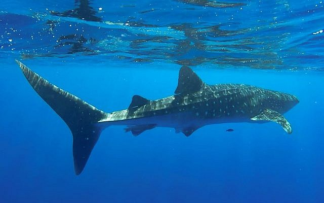 A whale shark swimming in the Red Sea off the coast of Eilat, July 2018. (Shani Aloush, Israel Nature and Parks Authority)