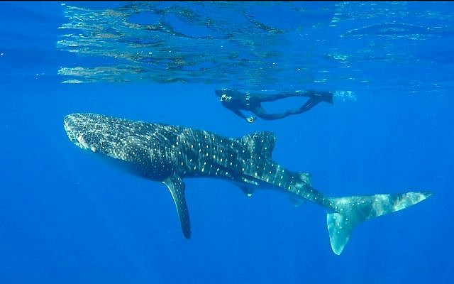 A whale shark swimming in the Red Sea off the coast of Eilat, July 2019. (Shani Aloush, Israel Nature and Parks Authority)