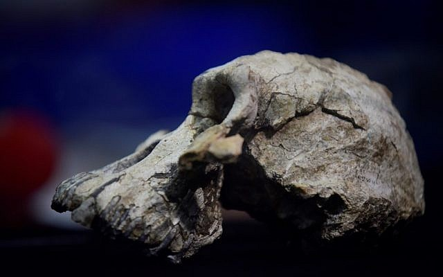 A 3.8 million-year-old skull of an early human, known as 'MRD' and belonging to the species Australopithecus anamensis, displayed during its presentation in Addis Ababa,  August 28, 2019. (MICHAEL TEWELDE/AFP)