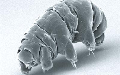 SEM image of Milnesium tardigradum in active state (By Schokraie E, Warnken U, Hotz-Wagenblatt A, Grohme MA, Hengherr S, et al. (2012) Wikimedia)