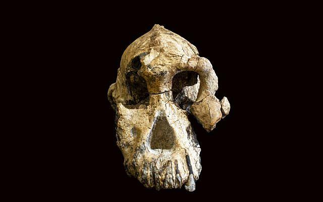 A fossilized cranium of Australopithecus anamensis. (Undated, Dale Omori/Cleveland Museum of Natural History via AP)