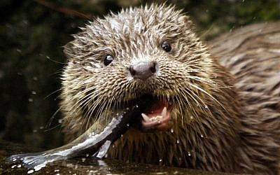 Illustrative: A young European Otter eats a trout (AP Photo/Keystone, Steffen Schmidt)