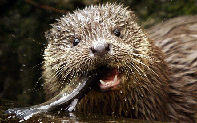 Illustrative: A young European Otter eats a trout. (AP Photo/Keystone, Steffen Schmidt)