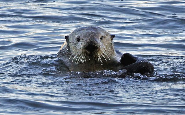 Illustrative: In this January 15, 2010, file photo, a sea otter is seen in Morro Bay, California. (AP Photo/Reed Saxon, file)