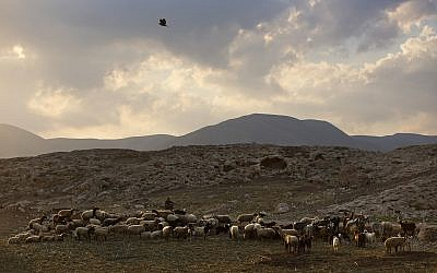 A Palestinian shepherd herds his flock near the Israeli settlement of Argaman, in the Jordan Valley, a strip of West Bank land along the border with Jordan, Monday, Dec. 26, 2016. (AP Photo/Oded Balilty)