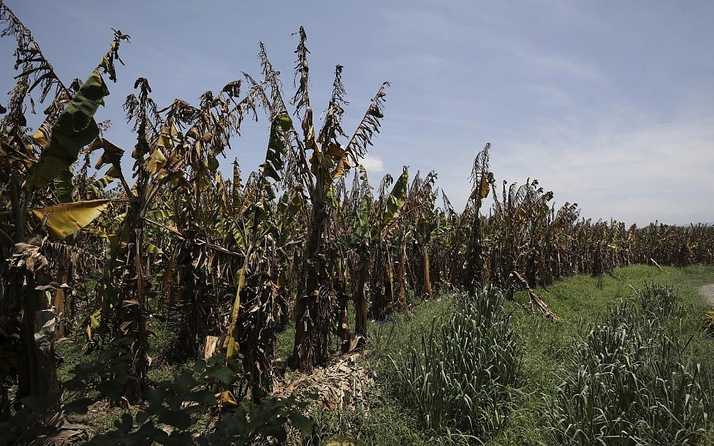 Banana plants deliberately killed in order to stop TR4 from spreading on a farm near Riohacha, Colombia (AP/Fernando Vergara)