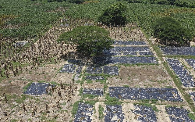 Black plastic sheets cover a banana plantation hit by Panama disease near Riohacha, Colombia, August 22, 2019. Officials have uprooted trees where the fungus has been detected and covered the soil with black plastic sheets that raise the temperatures to levels that could stop the disease from spreading. (AP/Manuel Rueda)