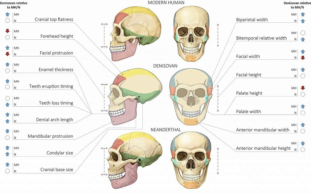 Comparison of Modern Human Neanderthal and Denisovan Skulls (Maayan Harel)