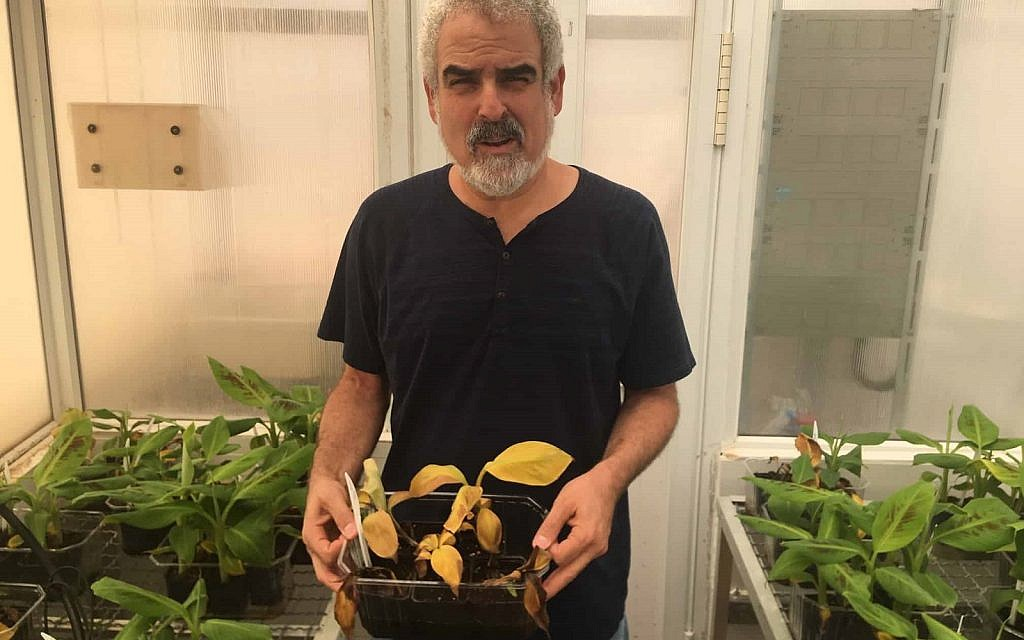 Dr. Dror Minz holding an infected banana plant. All it would take is one spore to destroy all banana crops in Israel. (Amir Ben-David via Zman Yisrael)