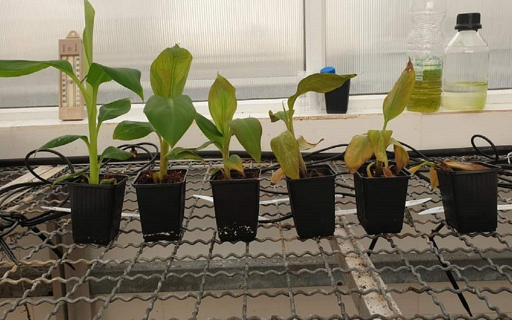 (Left to right) The wilting stages of a banana plant infected with TR4 (via Zman Yisrael)