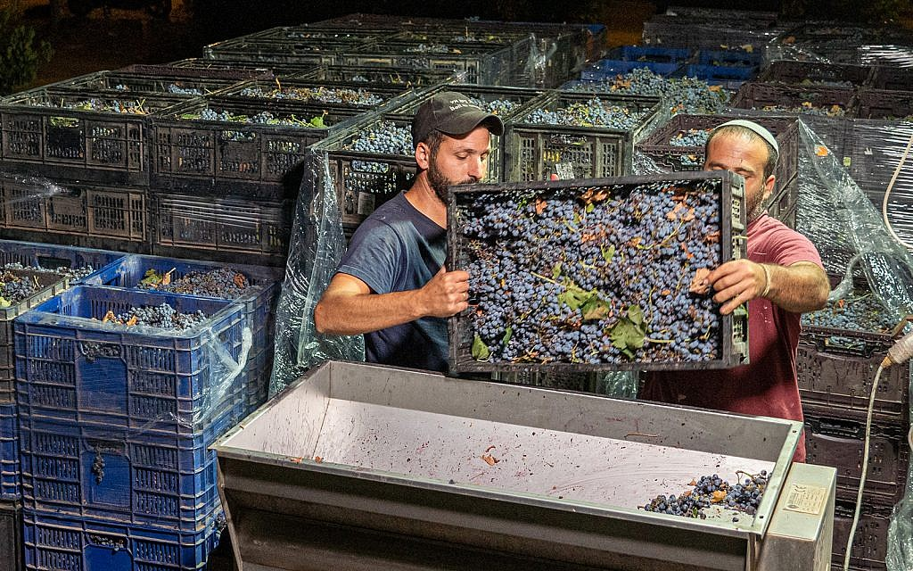 Jewish workers work at Beit El winery in the Jewish settlement of Beit El in the West Bank, September 4, 2019. (Hillel Maeir/Flash90)