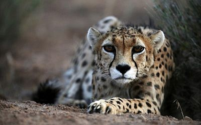 Illustrative: In this May 25, 2014 photo, a seven-year-old male Asiatic Cheetah called 'Koushki,' crouches at the Miandasht Wildlife Refuge in Jajarm, northeastern Iran. (AP Photo/Vahid Salemi)