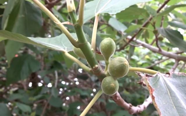 Illustrative: A close-up view of a ficus palmata tree (YouTube screenshot)