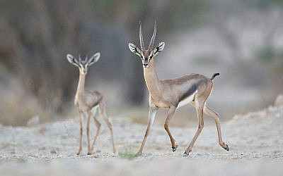 A male acacia gazelle with the new fawn. (Eran Hyams, Israel Nature and Parks Authority)