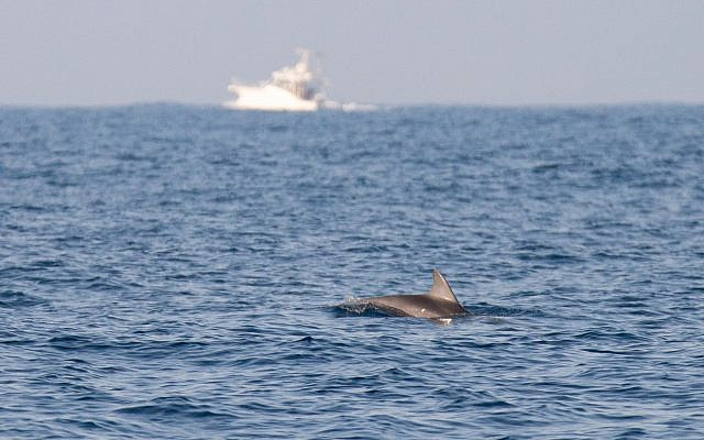 A dolphin spotted off the coast of central Israel in the Mediterranean Sea on October 15, 2019. (Guy Lavian/Israel Nature and Parks Authority)